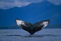 Google Image Result for http://www.alaska-in-pictures.com/data/media/3/humpback-whale-fluke_6446.jpg