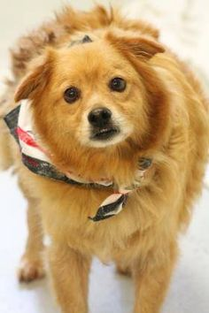NAME: Jasmine & Rascall  ANIMAL ID: 28603513-3528 BREED: Pomeranian mix  SEX: Spayed Female & Neutered Male  EST. AGE: 2 yrs  Est Weight: 32-35 lbs Health: heartworm pos Temperament: dog friendly, people friendly ADDITIONAL INFO: BONDED PAIR RESCUE PULL FEE:$49(each) Intake date: 7/15 Available: Now