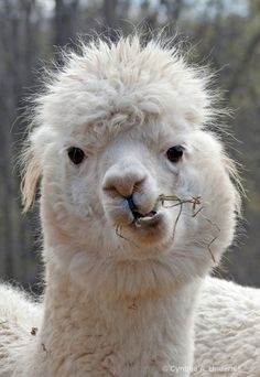 img 7546 11 alpaca p © Cynthia A Underhill-- I dated a guy in high school who looked like this