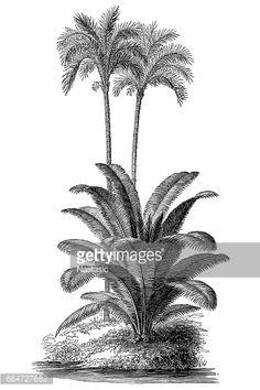 Stock Illustration : Ivory tree (Phytelephas macrocarpa) and silver date palm (Phoenix sylvestris)