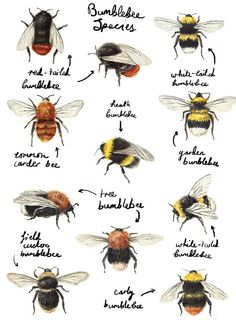 milklake:  catherinepapeillustration: Bumblebees Catherine Pape