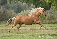 Palomino Paso fliegen wie der Hampel Pferd von WildHoofbeats