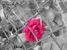Color Splash Photography | Color Splash Rose Photo by 3becca21 | Photobucket