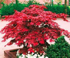 Vöröslevelű japán juhar
