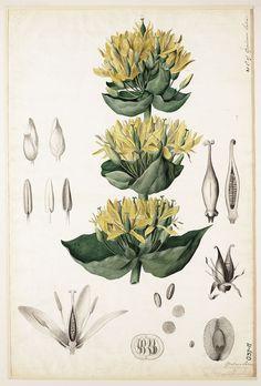 Genciana, Bitterwort (Gentiana lutea). Amargo, aperitivo, estimulante digestivo, anorexia, febrífugo, heridas, hemostático.