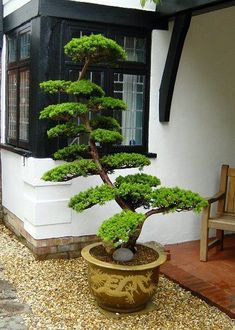 Taxus Yew Bonsai #japanesegarden