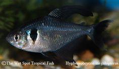 "Hyphessobrycon megalopterus ""Black Phantom Tetra"""