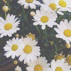 Tumblr daisies