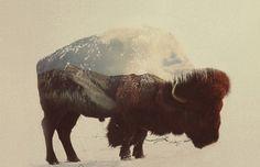 Buffalo Art Print by Andreas Lie