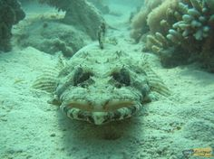 Crocodilefish - www.my-divespot.com