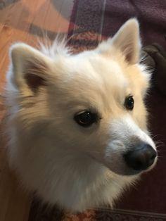 Small Puppies, Small Dogs, Dogs And Puppies, Pomsky, Pomeranian, Inigo Montoya, American Eskimo Dog, Kawaii, Cute Little Things