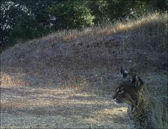 Felidae Conservation Fund aims to advance the conservation of wild cats and their habitats planet wide through a combination of groundbreaking research, compelling education and cutting-edge technology.  This image is from a remote sensing field camera of a bobcat in the Santa Cruz Mountains. This is an area where we will be studying the effects of habitat fragmentation and potential issues that arise from the use of rodenticides (rat poison).  #DoGood