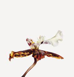Flowers   The Flower Book OrderAsparagales FamilyOrchidaceae Commondancing ladies orchid BotanicalOncidium Sunlight Pacific Punch