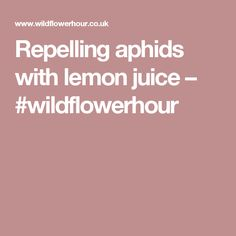 Repelling aphids with lemon juice – #wildflowerhour