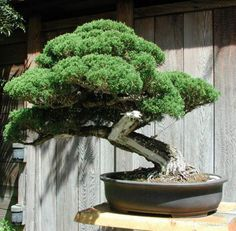 This is a simple and practical guide for anyone who wants to make a start in art of growing bonsai. Complete guide to growing bonsai trees for beginners. Here we will learn what Bonsai exactly is, its meaning, tips to look after bonsai trees, and methods for displaying indoor bonsai plants.