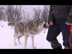 Lorne's 1st Birthday: Wolf opens presents! - YouTube