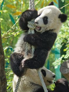 https://flic.kr/p/9xWkbx | Fu Hu Is Roping Down To Mommy | See Yang Yang eating quietly :-) DSC00604