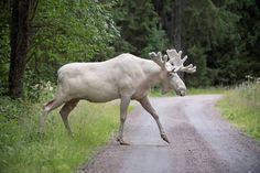 Animals and pets Animals and pets. Rare Animals In The World Narnia, Amazing Animals, Animals Beautiful, Unique Animals, Beautiful Creatures, Animals Of The World, Animals And Pets, Rottweiler, White Moose