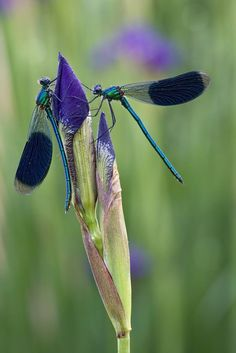 2 damselflies not dragonflies on an unopened iris.