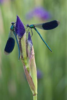 2 dragonflies on an unopened iris.
