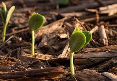 Plant & Soil Health: Soybean Response to Foliar Fertilizers Containing Manganese and Sulfur | ILSoyAdvisor.com