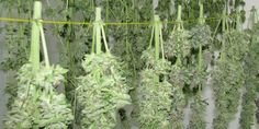 Here's how to cure weed the right way So what is curing cannabis and why do you need to do it? Curing cannabis is simply the process of extracting unwanted chlorophyll from your marijuana buds after they have dried. Chlorophyll is a chemical that. Growing Weed, Marijuana Plants, Cannabis Plant, Buy Cannabis Seeds, Cannabis Shop, Buy Cannabis Online, Ganja, Gardens, Medical Marijuana