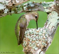 Black-chinned Hummingbird by Juan Bahamon, via 500px