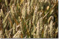 "Einkorn Ancient Grain - are you familiar with the oldest variety of ""wheat"" first cultivated 5,000 to 10,000 years ago? FYI - It contains a lower gluten toxicity."