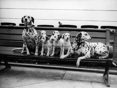 Hahnemuhle PHOTO RAG Fine Art Paper (other products available) - August A litter of 5 Dalmatian puppies sit on a park bench. (Photo by Fox Photos/Getty Images) - Image supplied by Fine Art Storehouse - Fine Art Print on Paper made in the UK Pet Dogs, Dogs And Puppies, Dog Cat, Doggies, Corgi Puppies, Weiner Dogs, Animals And Pets, Cute Animals, Funny Animals