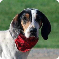 Unionville, PA - Halden Hound (Haldenstrover) Mix. Meet Gayle, a dog for adoption. http://www.adoptapet.com/pet/10779279-unionville-pennsylvania-halden-hound-haldenstrover-mix