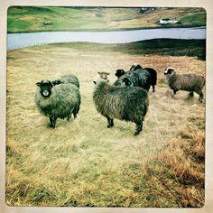 Shetland Sheep - http://www.shetlandwoolweek.com