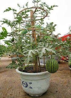 Easy Diy Garden Projects You'll Love Fruit Garden, Edible Garden, Garden Plants, Garden Shade, Potted Plants, Potager Garden, Tomato Plants, House Plants, Container Plants