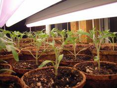 Tomato starts at 20 days!