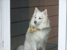 favorite this post lost/ stolen (East Greenwich) hide this posting image 1 of 2    © craigslist - Map data © OpenStreetMap 5300 Post rd apt354 (google map)  American Eskimo, male, not neutered 13 1/2 years old has a heart murmur  Jackson has been missing since 3/16 he is missed more each day...