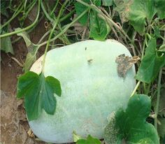 20 PCS Specific gardening vegetable seeds  giant winter melon seeds Home gardening vegetable seeds Big wax gourd seeds