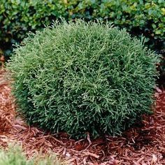 Mr. Bowling Ball White Cedar The ultra-ornamental Mr. Bowling Ball white cedar grows into perfect two- to three-foot balls, with finely textured, feather-like sage green foliage. It works well as an accent or a hedge.