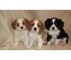 Cavoodle puppies casino
