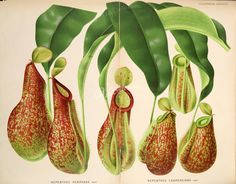 nepenthes henryana, nepenthes lawrenciana   ... Botanical Prints, Botanical Drawings, Botanical Gardens, Nature Illustration, Botanical Illustration, Carnivorous Plants, Victorian Paintings, Botany, Belgium