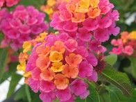 Lantana produces profuse color, showing off clusters of tiny, eye-catching blooms in a variety of hues. Typically grown as an annual, it's an excellent low hedge or accent shrub that you can also train as a standard. It attracts butterflies and tolerates heat.