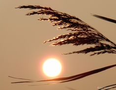 #fotografie #natuur #zon #riet