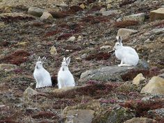 Nunavut hares - huge I was shocked compared to them little brown rabbits from Dads snares ! North American Animals, Northern Canada, Canadian Wildlife, I Am Canadian, Northwest Territories, Arctic Animals, Bunny Rabbits, Animals Of The World, Canada Travel
