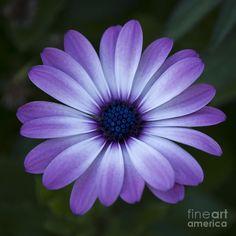 Tat idea? Like the color  gerbera daisy drawing   Gerbera Daisy In Purple Photograph - Gerbera Daisy In Purple Fine Art ...