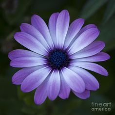 Tat idea? Like the color  gerbera daisy drawing | Gerbera Daisy In Purple Photograph - Gerbera Daisy In Purple Fine Art ...