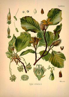 Beech (Fagus) - botanical print, Missouri Botanical Garden, Rare Book Collection via BHL