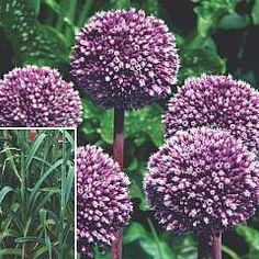 Allium Summer Drummer 3 bulbs