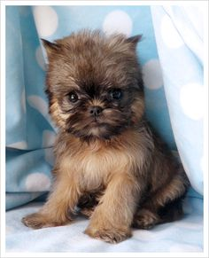 Brussels Griffon pup .