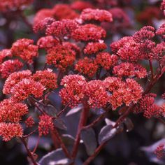 Sedum-fall-One of the quintessential autumn plants, sedum bursts into bloom at summer's end. This tough plant laughs off all summer's heat and drought to look great in your garden at the end of the season
