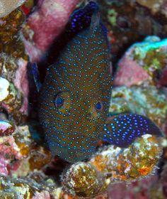 ˚Small grouper (Red Sea)