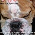 Bacterial skin infections are the third major cause of itching in dogs. Most of these infections occur when the immune system is compromised by allergies, illness or stress. 'Pyoderma' is the medical term used for bacterial infections of the skin and literally means 'pus in the skin'.    TYPES OF DOG BACTERIAL SKIN INFECTIONS  The bacteria responsible for most skin problems in dogs are called 'Staphylococcus aureus'.