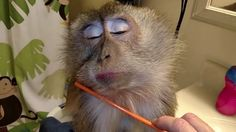 Viral Video UK: Monkey loves to be groomed!